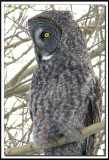 CHOUETTE LAPONE - GREAT GRAY OWL          foretperdue 113.jpg