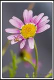 Fleurs-araignée 026