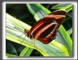 papillons 071a .jpg  -   DRYADULA PHAETUSA   /   Amérique - America