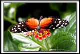 _MG_0005a .jpg  -  HELICONIUS