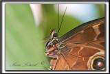 _MG_0009bb .jpg -  MORPHO PELEIDES  /  Costa Rica