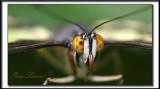 _MG_9420e crop .jpg  -  COUCOU !  BIG EYES   /   SIPROETA  STELENES  -  Amérique du Sud  /  South America