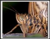 _MG_9445b crop .jpg  --  IT LOOKS A LIKE A SPIDER   /  ÇÀ RESSEMBLE À UNE ARAIGNÉE  -  CALIGO MEMNON  /  COSTA RICA