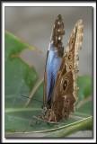 _MG_0080c   -  MORPHO PELEIDES  /  Costa Rica