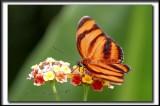 _MG_9781b   -    DRYADULA PHAETUSA  /  Costa Rica