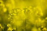 20080501 - Oilseed Rape