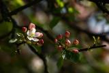 20080508 - Blossom