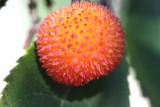 Frucht des Erdbeerbaums / Arbutus fruit
