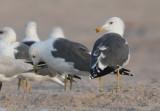 Barabensis type gulls, Oman 26.11-4.12 2009