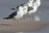 Heuglini type gulls Oman 26.11 - 4.12 2009
