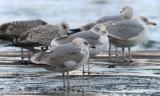 Argentatus gulls, Vik, Sweden, 2.1 2010