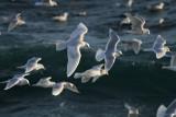 Glaucoides & kumlieni type gulls, SW Iceland 28.2-4.3 2010