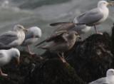 Argenteus type gulls SW Iceland 28.2-4.3 2010