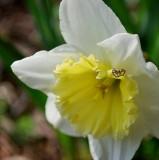 Spider On Daffodil