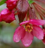 Crabapple Blossom In Rain