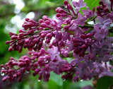 Lilac Blossoms During Rainshower