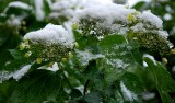 Ice And Snow On Emerging Buds