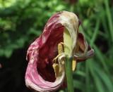 Dead tulip-detail_0479.jpg