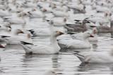 Oie Blanche / Snow Goose