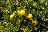 What Oranges should look Like