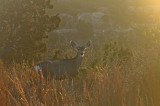 Doe at Dawn