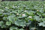 China Lotus