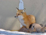 Mother fox and pups