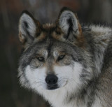 Mexican Gray Wolf Minnesota Zoo