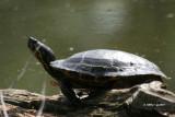 painted_turtles