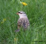 whitecrowned_sparrow