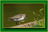 A Solitary Sandpiper With An Itch