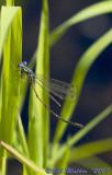 Slender Spreadwing-Male