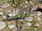 Eastern Pondhawk-Female