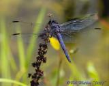 Slaty Skimmer-Male
