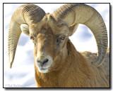 Bighorn Sheep, Ram (Ovis canadensis)