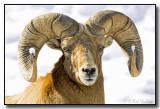 Ram Also