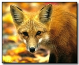The Red Fox Gallery
