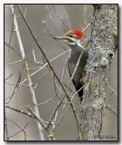 The Larger Woodpecker Species Gallery