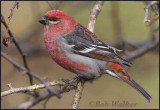 Male Pine Grosbeak (Pinicola enucleator)