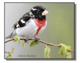 Rose Breasted Grosbeak (Pheucticus ludoviciamus)i