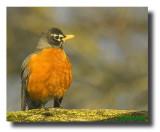 American Robin (Turdus  migrators) Gallery