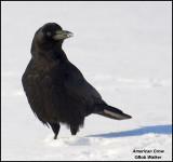 An American Crow (Corvus brachyrhynchos)
