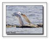 Tern Coming In