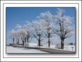 Trees Lined Up Coated With Hoar Frost In Rural New York