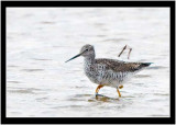 The Greater Yellowlegs Checks The Shoreline For Food