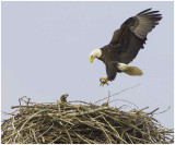 The Eagles Tends To It's Young