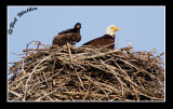 Eaglet And Parent Keep Vigilant