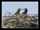 Eaglets Amuse One Another