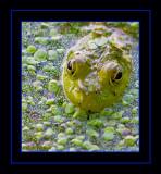 Bull Frog Head On