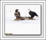 The Immature May Look To Challenge The Older Mature Eagle